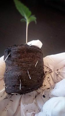 So sieht ein gut durchwurzelter Quelltopf aus. Er kann jetzt eingepflanzt werden