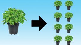 Mach Dich schlau: Mutterpflanzen und Stecklinge